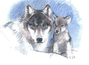American Wolves Teach Us About Australian Dingoes